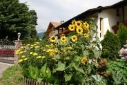 12-Sonnenblumen