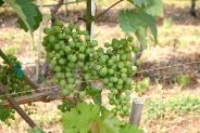 05-Weintrauben
